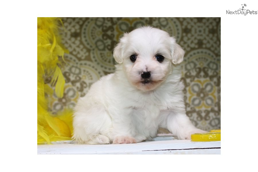 Havanese puppy for sale near Sioux City, Iowa.   d2f954cf-3c51