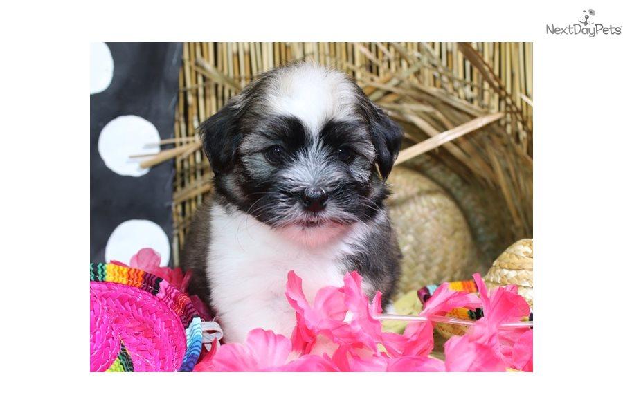 Havanese Puppy For Sale Near Sioux City Iowa E4405b4d F5b1