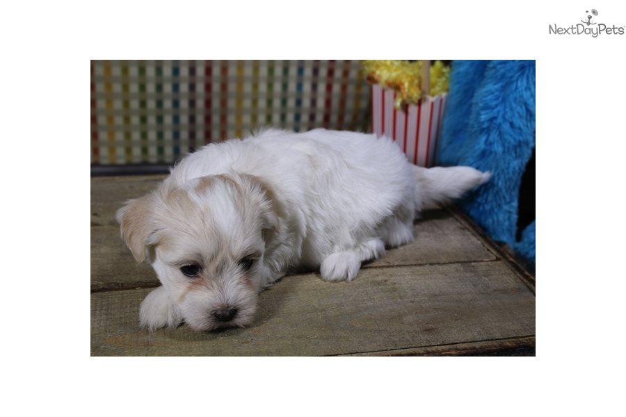 Havanese Puppy For Sale Near Sioux City Iowa C39ec9a1 7841