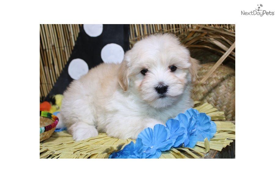 Havanese Puppy For Sale Near Sioux City Iowa 941e5d30 13a1