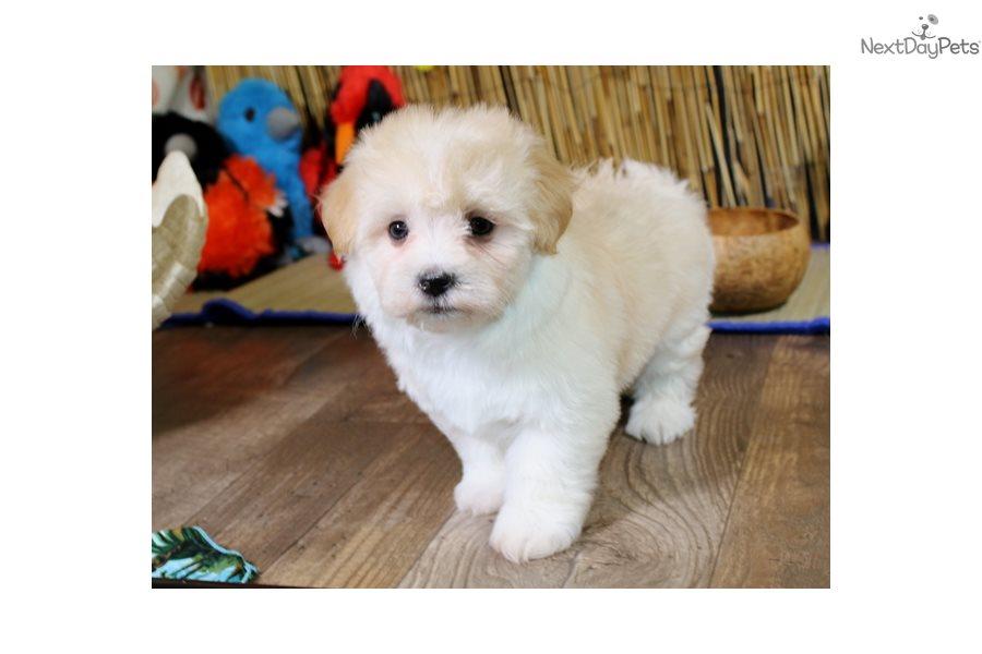 Havanese Puppy For Sale Near Sioux City Iowa 5457710e 73f1