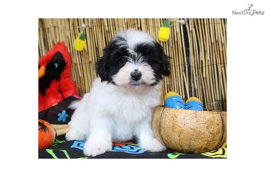 Havanese Puppy For Sale Near Sioux City Iowa C3a3217f 30a1