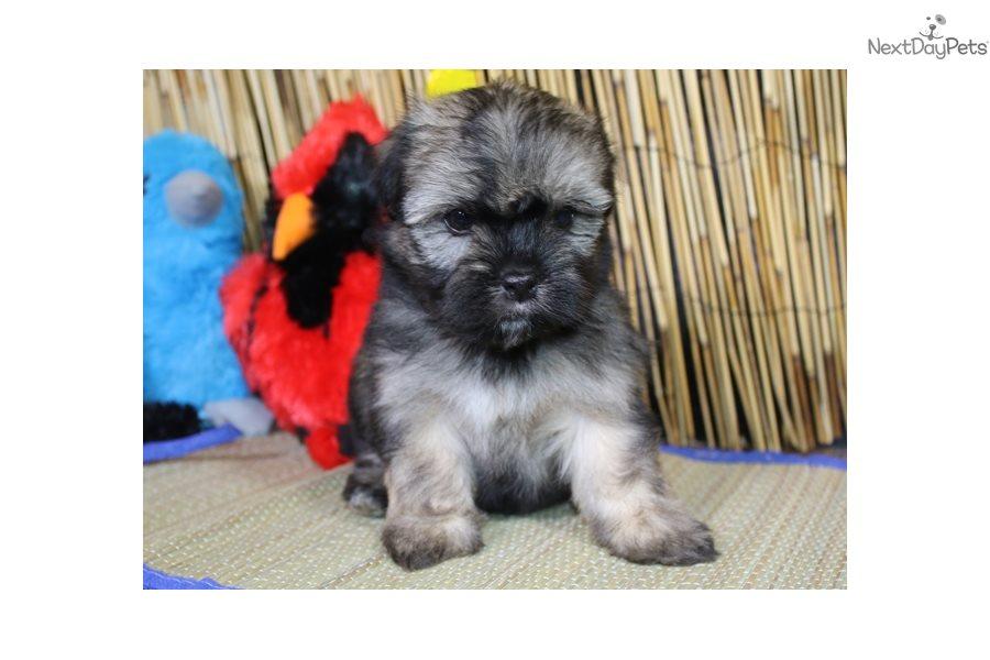 Havanese Puppy For Sale Near Sioux City Iowa 53aae331 76a1