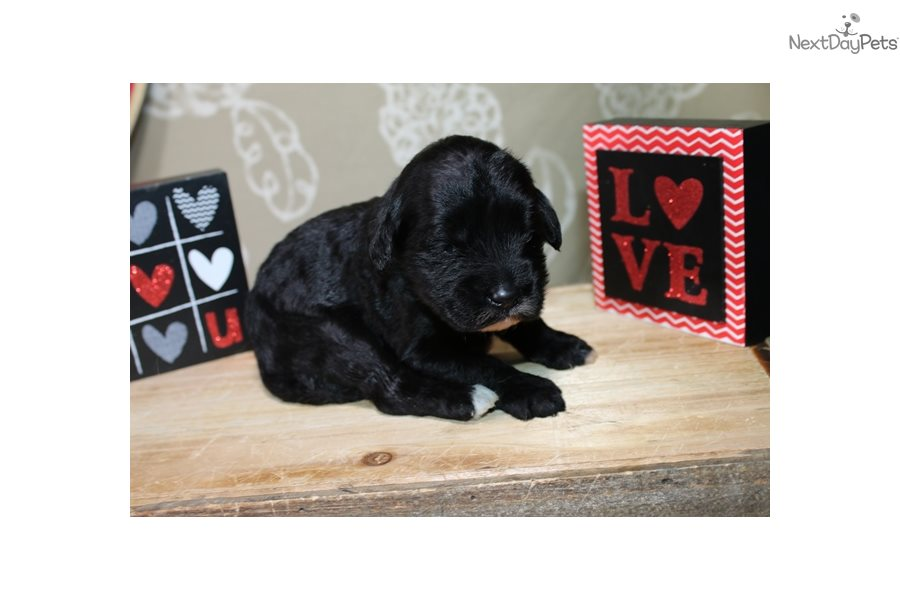 Portuguese Water Dogs For Sale In Iowa