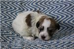 Sargent | Puppy at 4 weeks of age for sale