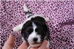 Sakari | Puppy at 4 weeks of age for sale