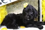 Portuguese Water Dog for sale