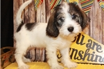 Picture of a Petit Basset Griffon Vendeen Puppy