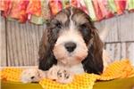 Picture of a Petit Basset Griffon Vendeen Puppy