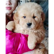 View full profile for My Golden Retriever Puppies