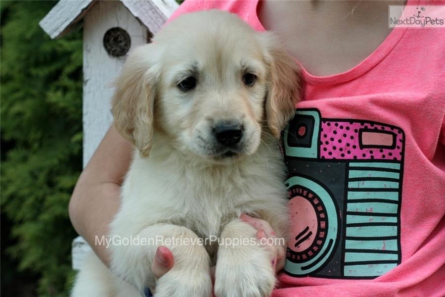 Miles Golden Retriever Puppy For Sale Near Akron Canton Ohio