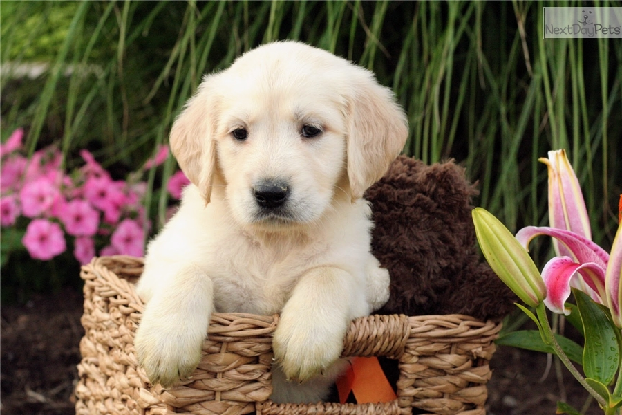 Sandy Golden Retriever Puppy For Sale Near Akron Canton Ohio