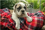 Picture of a Beabull Puppy