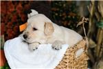 Picture of AKC English Cream Golden