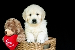 Picture of an English Golden Retriever Puppy