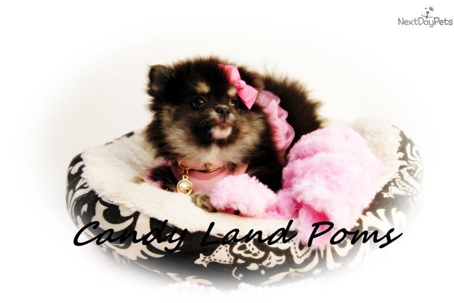 Bella Dolche Pomeranian Puppy For Sale Near Houston Texas