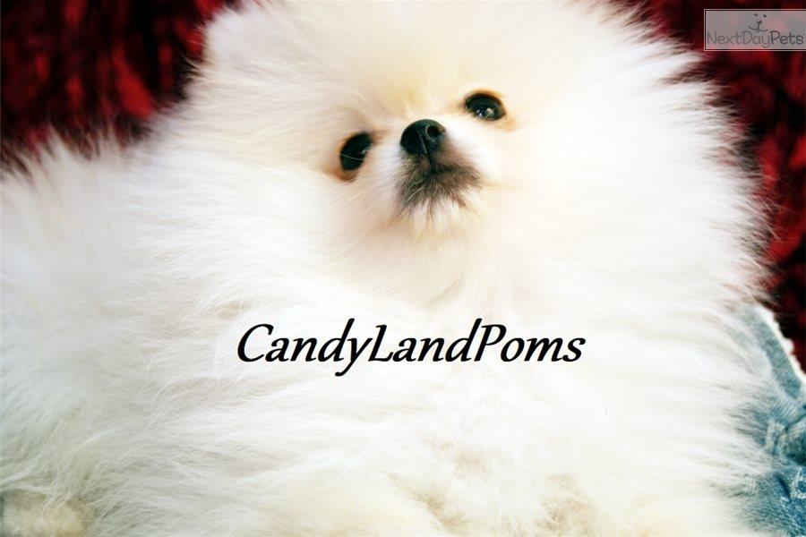 Frozen Pomeranian Puppy For Sale Near Houston Texas Ccbf5398 4241