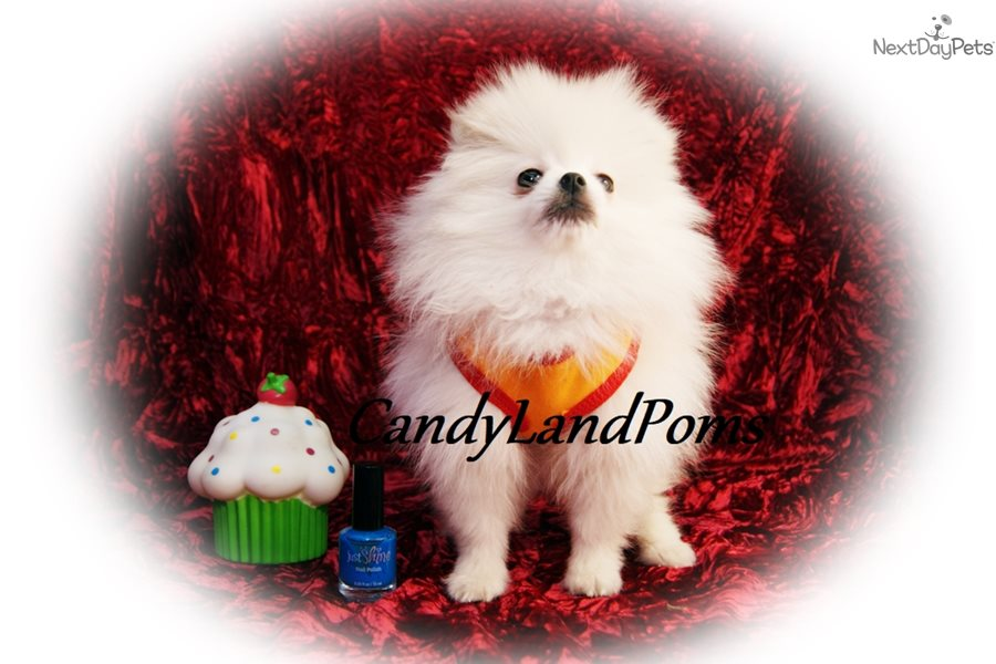 Frost Pomeranian Puppy For Sale Near Houston Texas A9974081 6e71