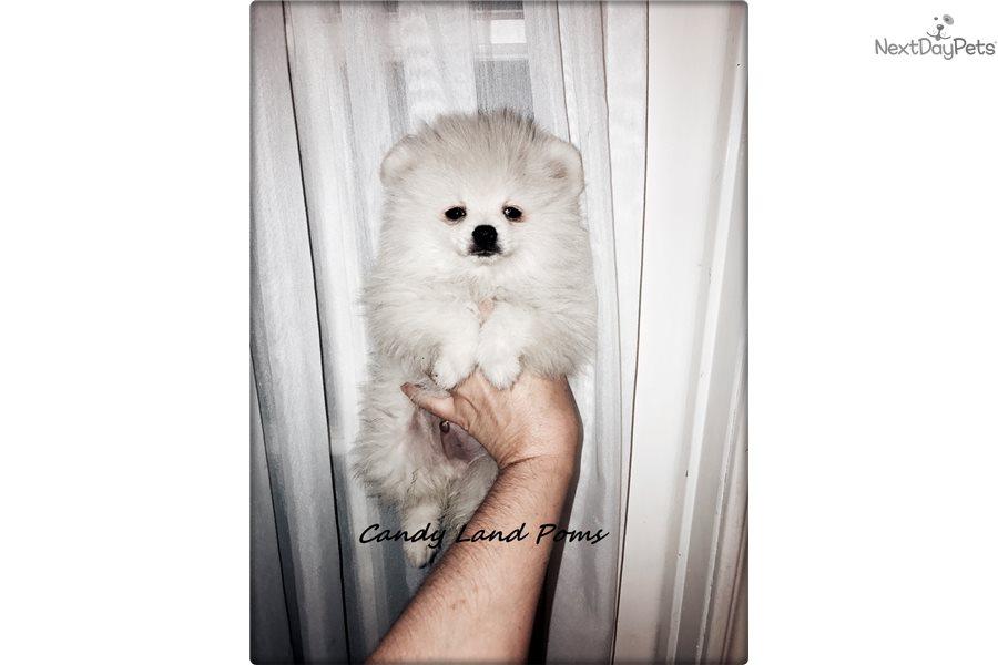 Pomeranian : Pomeranian puppy for sale near Houston, Texas