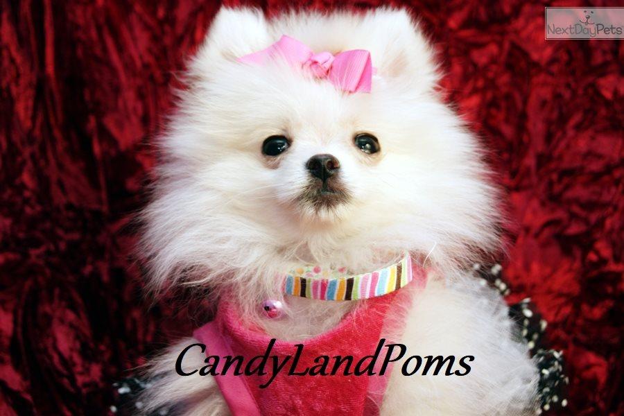 Coconut: Pomeranian puppy for sale near Houston, Texas | 15669896-23a1