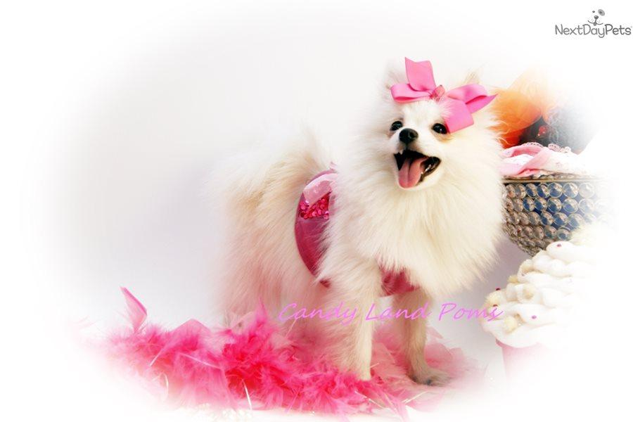 Starla Pomeranian Puppy For Sale Near Houston Texas Ef338deb 9391
