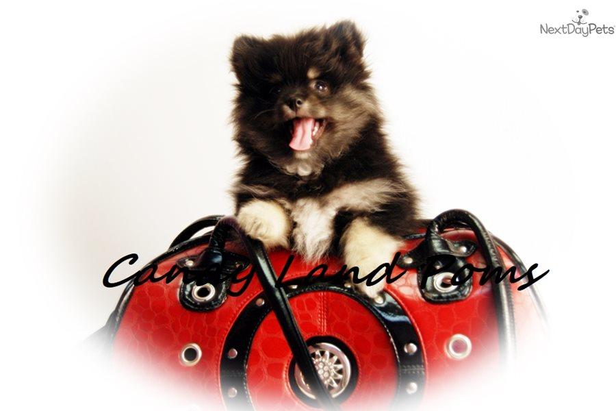 Burberry Pomeranian Puppy For Sale Near Houston Texas B5a80b83 C871