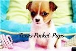 Picture of Chip Ultimate tiny male Apple Head Chihuahua puppy