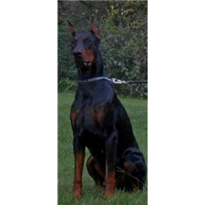 View full profile for Todics classic dobermans