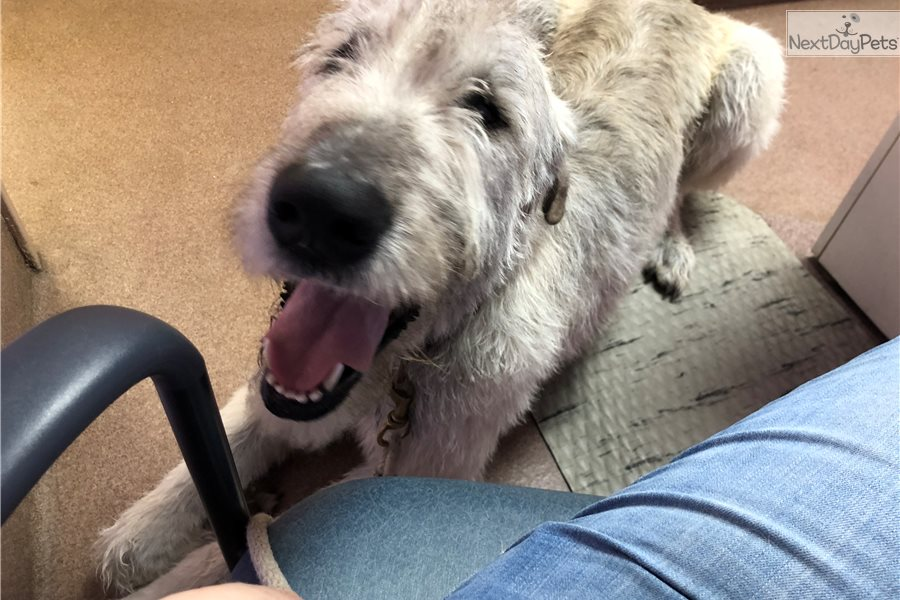 Finn Irish Wolfhound Puppy For Adoption Near Kansas City