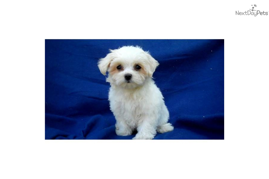 maltese breeders in michigan maltese puppy for sale near ann arbor michigan 559cc144 4894
