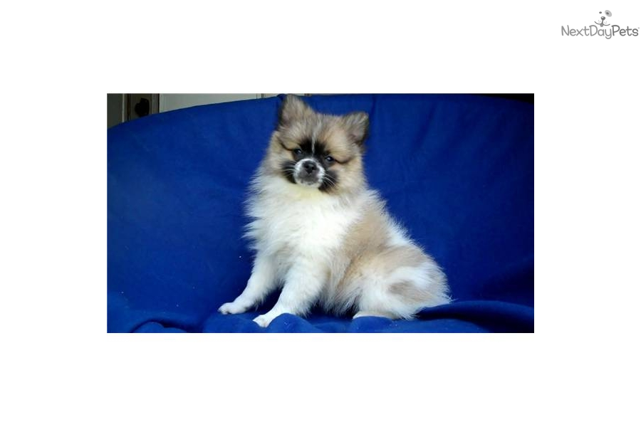 pomeranian breeders michigan pomeranian puppy for sale near ann arbor michigan 1764