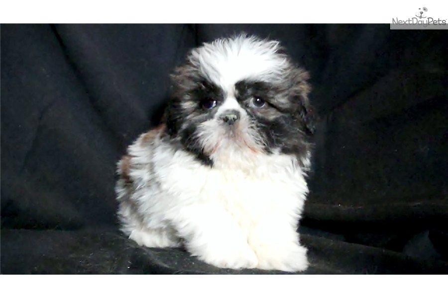 Shih Tzu Puppy For Sale Near Flint Michigan F64d2585 3321