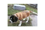 Picture of READY TO GO!!! HANDSOME SMOOTH COAT MALE~Jack