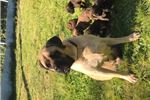 Picture of Stunning Female Old English Mastiff Puppy