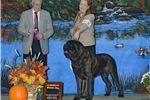 Picture of Champion! Old English Mastiff, Brindle Male puppy