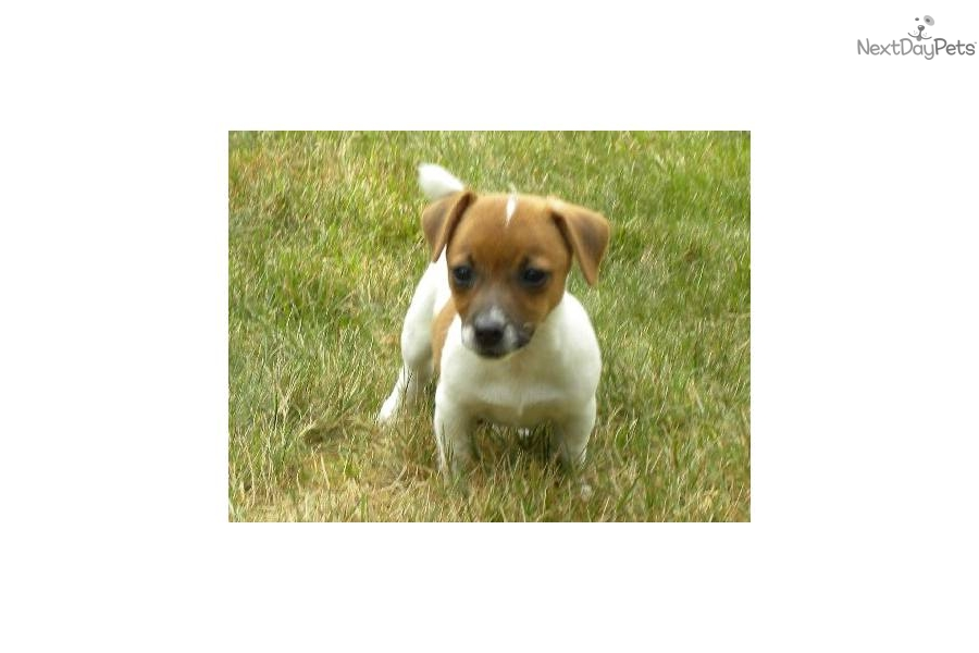 jack russell terrier mass jack russell terrier for sale for 550 near worcester 3318