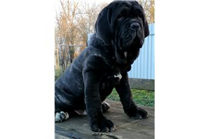 Yambo | Puppy at 18 weeks of age for sale