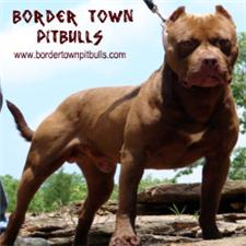 View full profile for Border Town Pitbulls