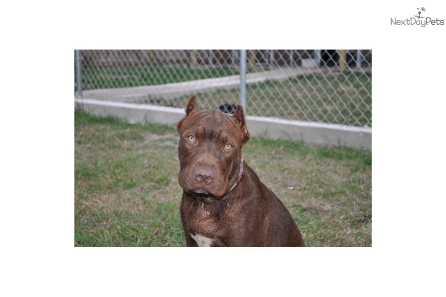 American Pit Bull Terrier puppy for adoption near ...