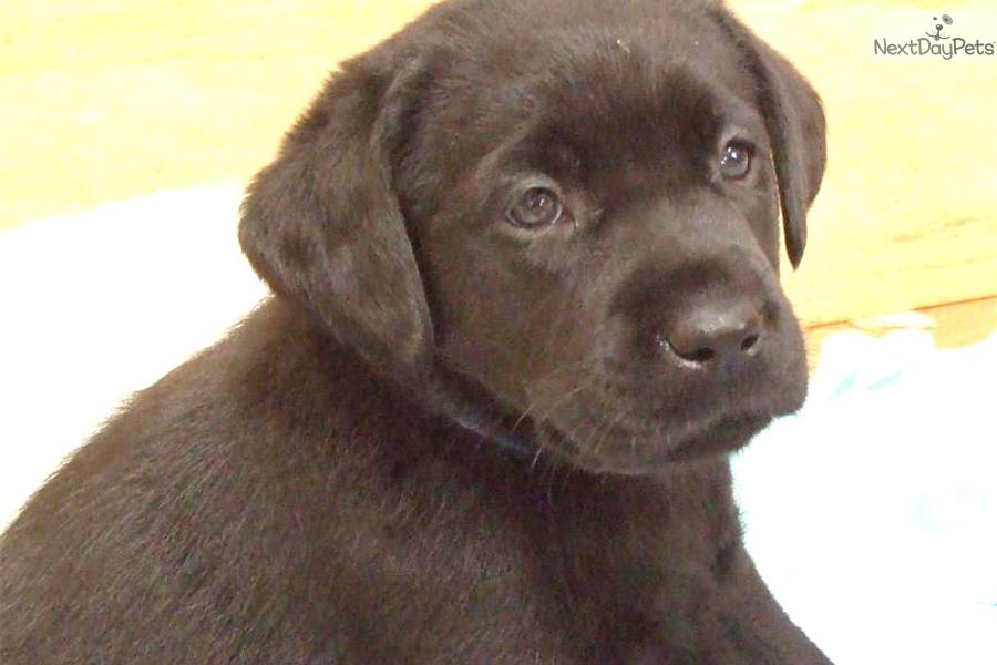 English Chocolate | Labrador Retriever puppy for sale near ...