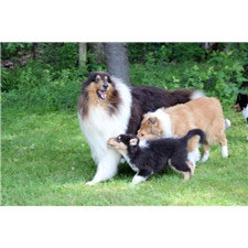 View full profile for Val Hi Collies