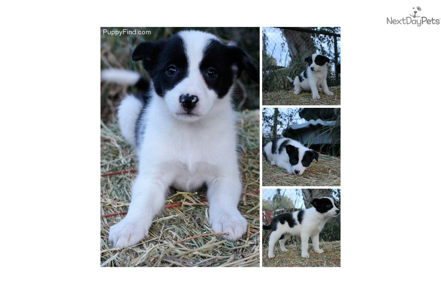 Fiona Border Collie Puppy For Sale Near Bakersfield California