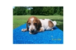 Picture of Redtick Englsh Puppy For Sale