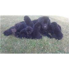 View full profile for High Point Newfoundlands