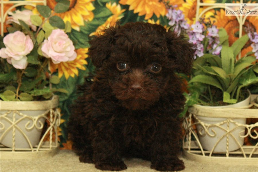 Chocolate Female Tea: Poodle, Toy puppy for sale near Oklahoma