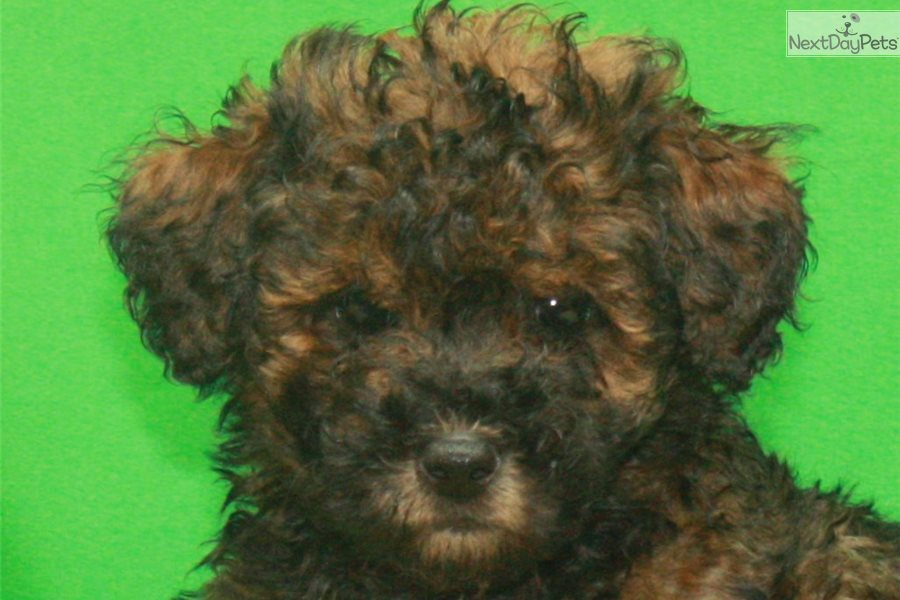 Brindle Phantom Poodle Toy Puppy For Sale Near Oklahoma
