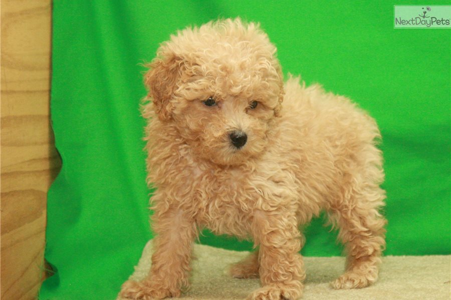 Apricot Male Tiny To Poodle Toy Puppy For Sale Near