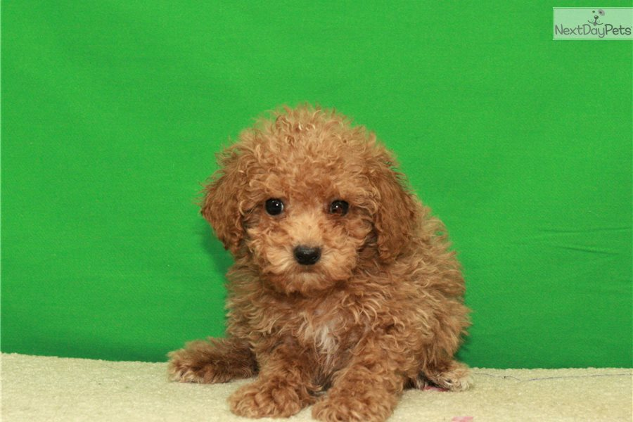 Teacup 4 Poodle Toy Puppy For Sale Near Oklahoma City