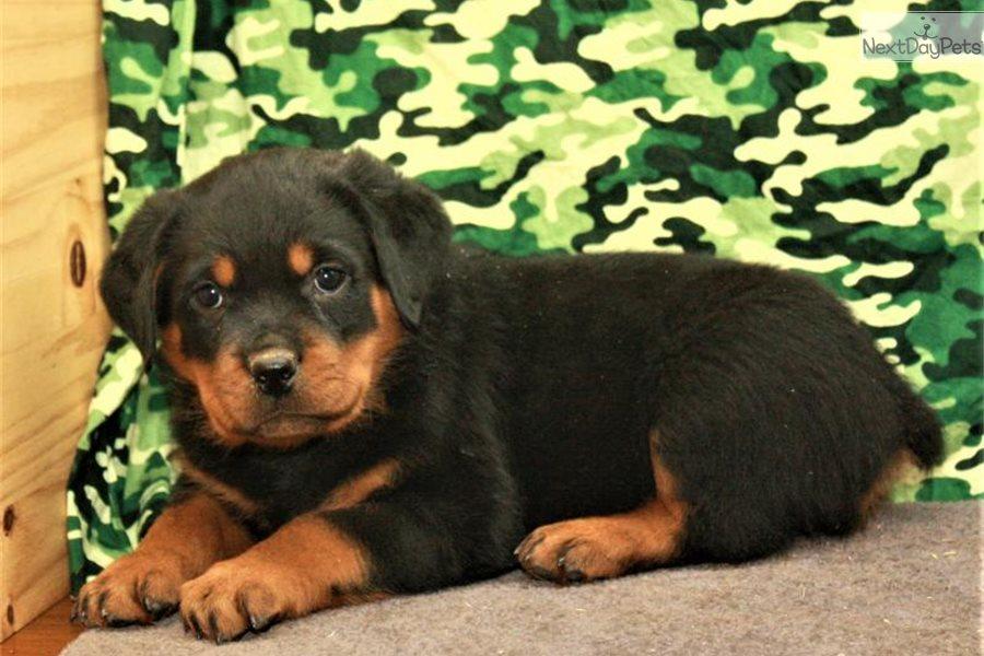 Blue Collar Rottweiler Puppy For Sale Near Oklahoma City Oklahoma