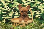 Picture of Male Chorkie #2